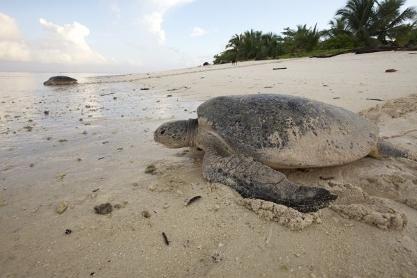 Nesting endangered Green Sea Turtles return to sea after laying eggs throughout the evening.